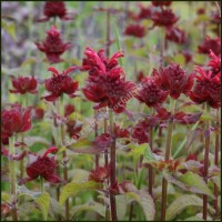 Bergamot, Red - Monarda didyma