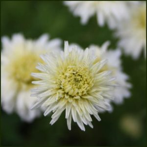 Chamomile, Double Flowered - Chamaemelum nobile 'Flore Pleno'