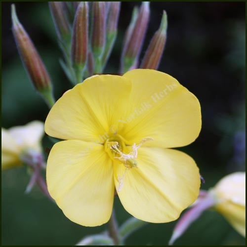 Evening Primrose - Oenothera erythrosepala