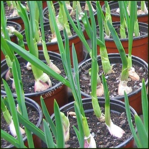 Garlic - Allium sativum