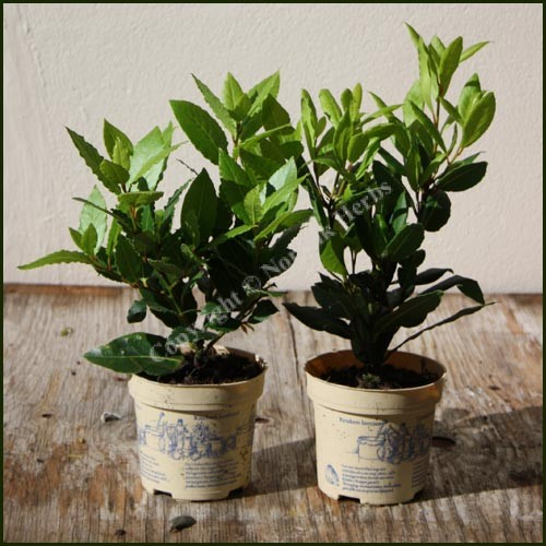 Buy kitchen bay laurus nobilis from norfolk herbs casseroles rice puddings - Aromatic herbs pots multiple benefits ...