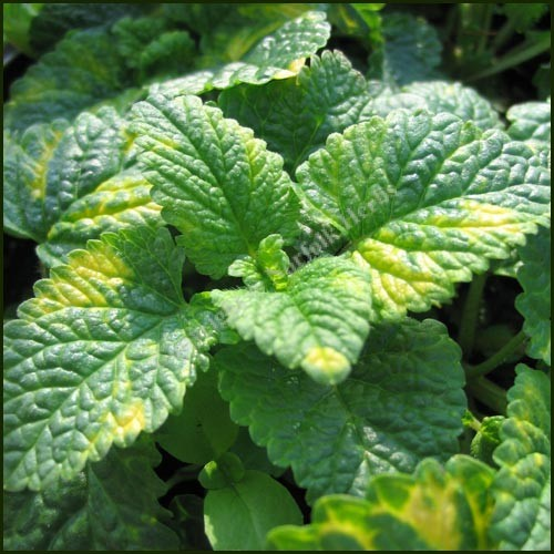 Balm, Lemon Variegated - Melissa officinalis variegata