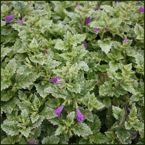 Buy calamint variegated plants online from norfolk herbs - Aromatic herbs pots multiple benefits ...