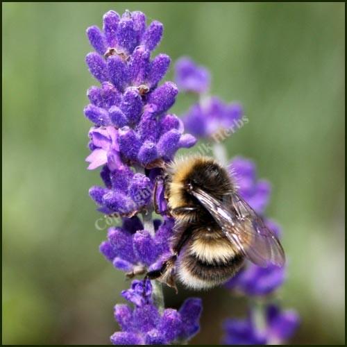 Lavender, Imperial Gem - Lavandula angustifolia
