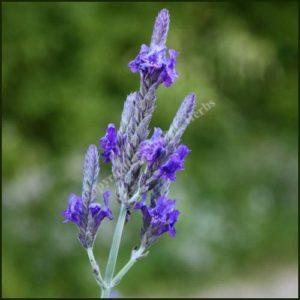 Lavender, Pinnata