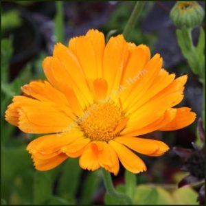 Marigold, Pot - Calendula officinalis