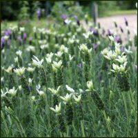 lavender-tiara-2