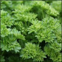 Parsley Curled - Petroselinum crispum