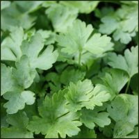 Parsley, French - Petroselinum crispum French