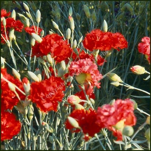 buy pink clove dianthus caryophyllus from norfolk herbs. Black Bedroom Furniture Sets. Home Design Ideas