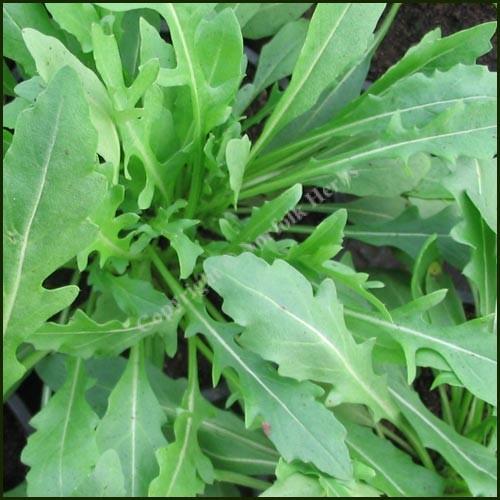 Rocket, Wild - Diplotaxis tenuifolia