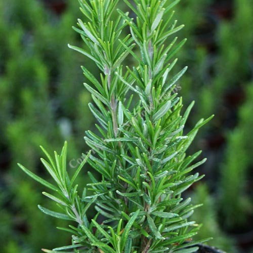 Rosemary, Barbeque - Rosmarinus officinalis 'Barbeque'