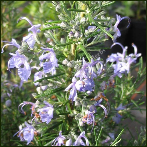 Rosemary, Sudbury Blue