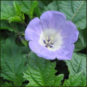 Shoo-Fly Plant - Apple of Peru -Nicandra physalodes