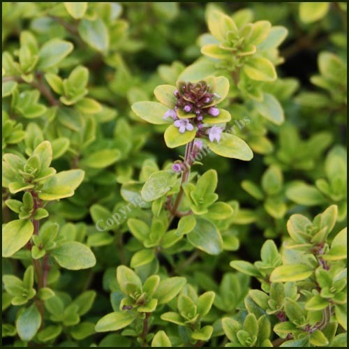 Thyme bertrum anderson thymus pulegioides from norfolk herbs - Aromatic herbs pots multiple benefits ...