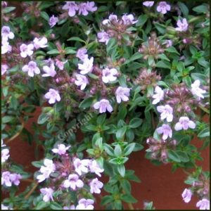 Thyme, Caraway - Thymus, herba barona