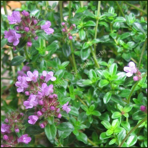 Buy thyme dillington thymus pulegioides from norfolk herbs - Aromatic herbs pots multiple benefits ...