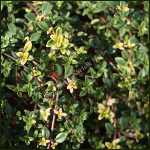 Buy thyme goldstream thymus serpyllum from norfolk herbs - Aromatic herbs pots multiple benefits ...