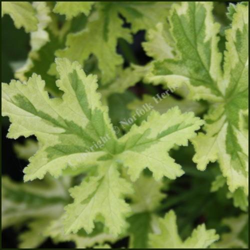 Scented Pelargonium - Geranium - 'Charity'