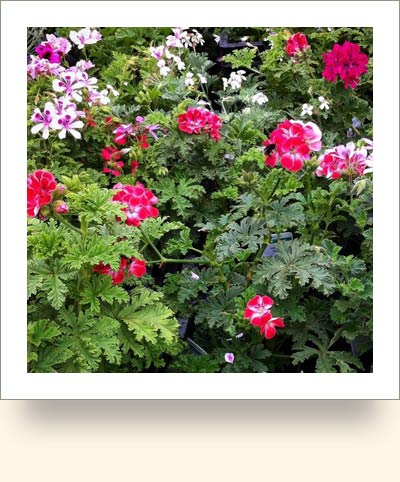 scented-pelargoniums