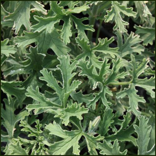 Scented Pelargonium - Geranium 'Grey Lady Plymouth'