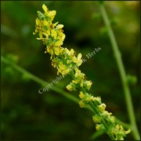 Agrimony - Agrimonia eupatoria