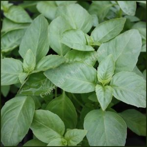 Basil, Bush - Ocimum minimum
