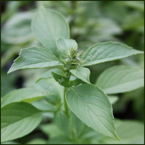 Basil, Lemon
