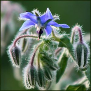 Borage BLUE - Borago officinalis