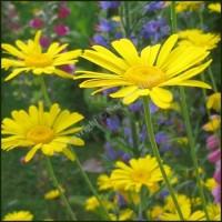 Chamomile, Dyers - Anthemis tinctoria