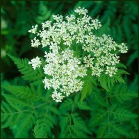 Cicely, Sweet - Myrrhis odorata