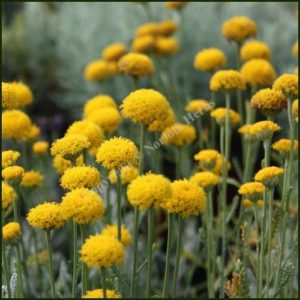 Cotton Lavender - Santolina chamaecyparissus