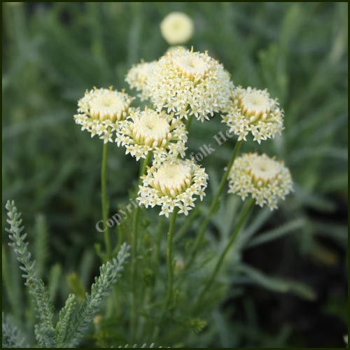 Cotton lavender, Edward Bowles - Santolina pinnata neopolitana