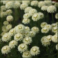 Cotton Lavender 'Lemon Queen' - Santolina neapolitana