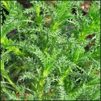 Cotton Lavender Viridis - Santolina rosmarinifolia subsp. rosmarinifolia