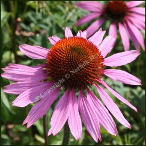 Echinacea - Purple Coneflower - Echinacea purpurea