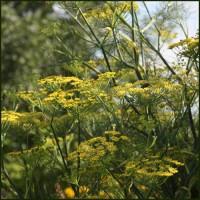 Fennel, Green - Foeniculum vulgare