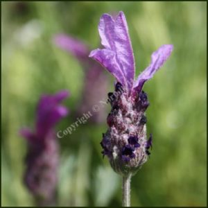 Lavender, French 'BEE BRILLIANT' - Lavandula 'Bee Brilliant'