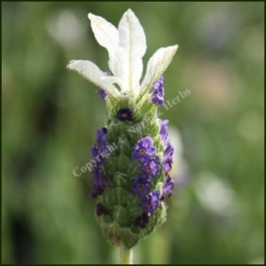 Lavender, French Madrid Blue - Lavandula stoechas