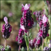 Lavender, French Madrid Bella Pink - Lavandula stoechas