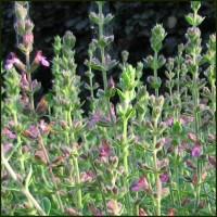 Germander, Hedge - Teucrium x lucidrys