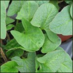 Good King Henry - Chenopodium bonus - henricus
