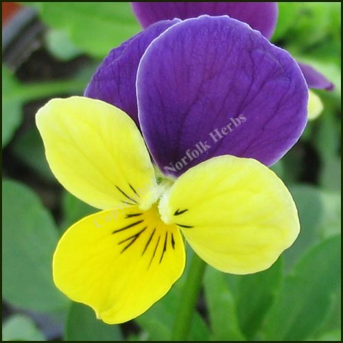 Heartsease - Wild Pansy - Viola tricolor