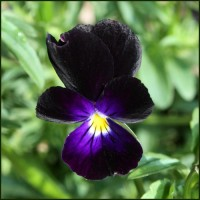 Heartsease - Wild Pansy - Sawyers Black