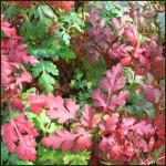 Herb Robert - Geranium robertianum