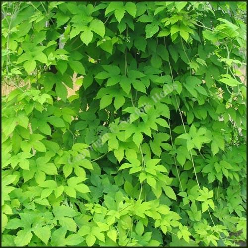 Golden Hops - Humulus lupulus aureus
