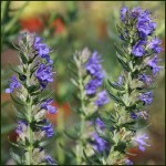 Hyssop, Blue - Hyssopus officinalis