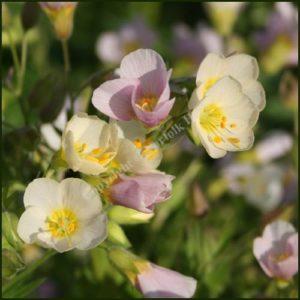 Jacob's ladder Apricot Delight Polemonium caeruleum