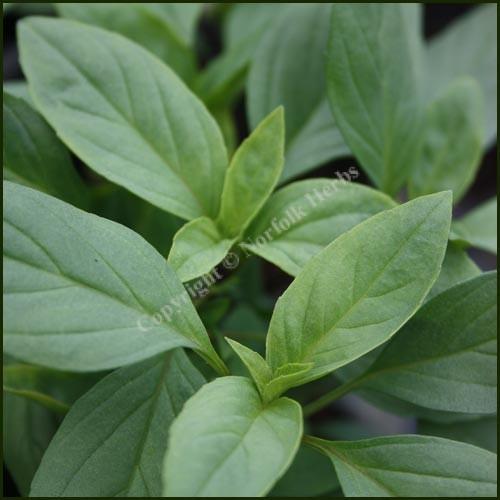 Basil, Thai - Ocimum basilcum Horapha nanum
