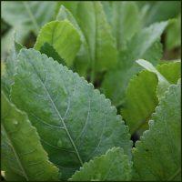 Alecost - Costmary - Tanacetum balsamita